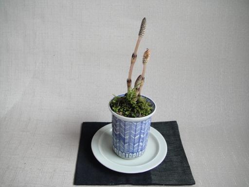 土筆の鉢植え